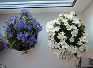Как ухаживать цветок жених и невеста.