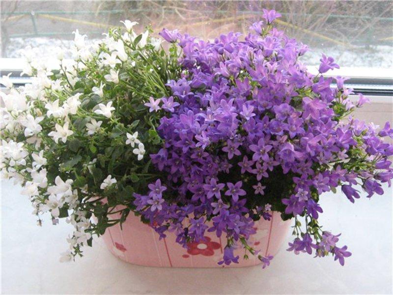Невеста комнатный цветок купить