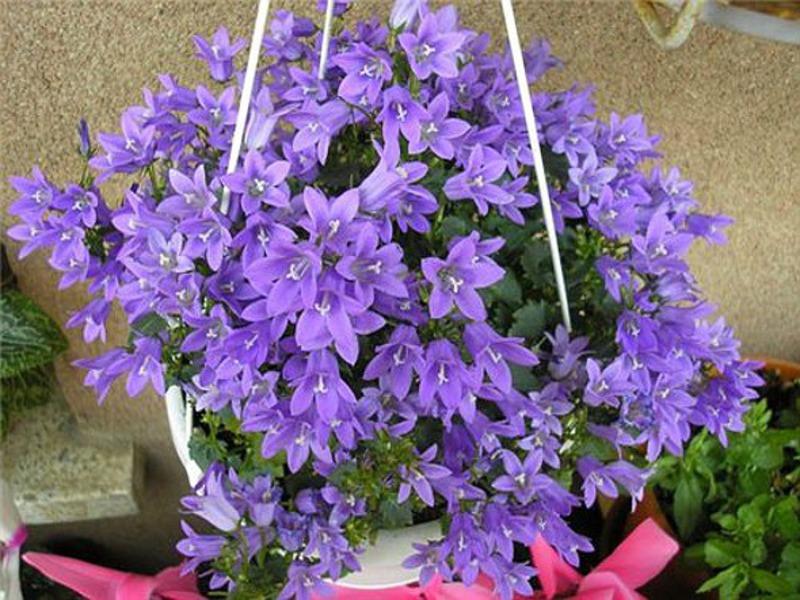 Комнатный растение с цветами 80