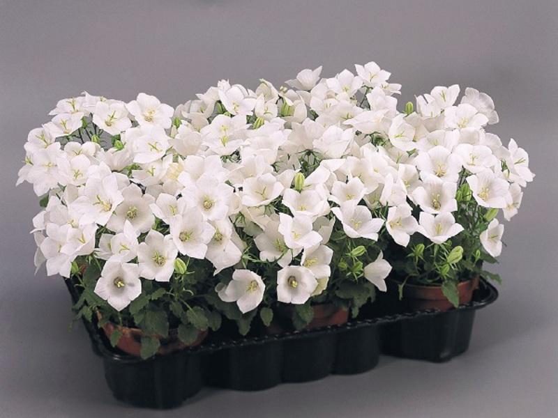 Комнатный цветок кампанула или Невеста : описание, уход, размножение