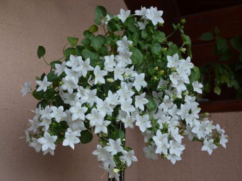 Комнатный цветок жених невеста 10