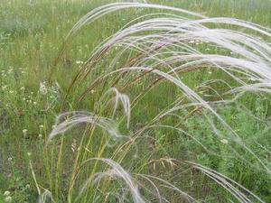 трава ковыль фото