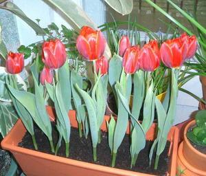 Посадка и выращивание тюльпанов в домашних условиях 36