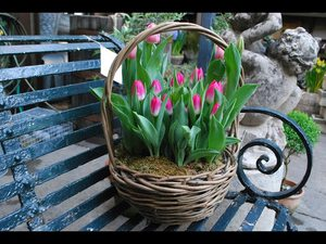 Тюльпаны выгонка в домашних условиях