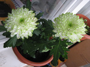 Когда зацветает комнатная хризантема