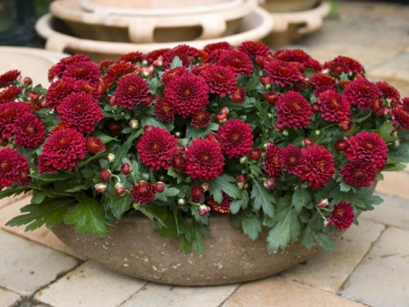 Цветущая хризантема в доме