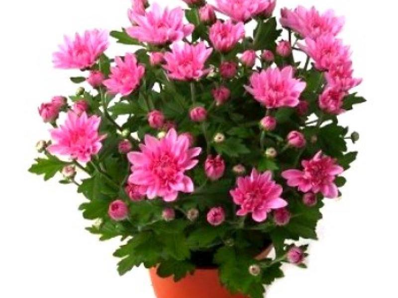Сорт хризантемы