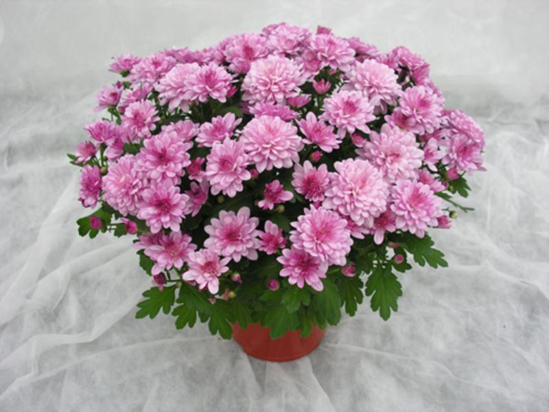 Хризантемы цветов домашних