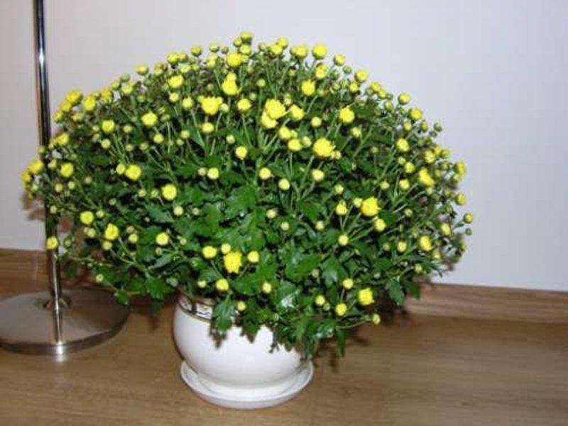 Как вырастить домашние хризантемы
