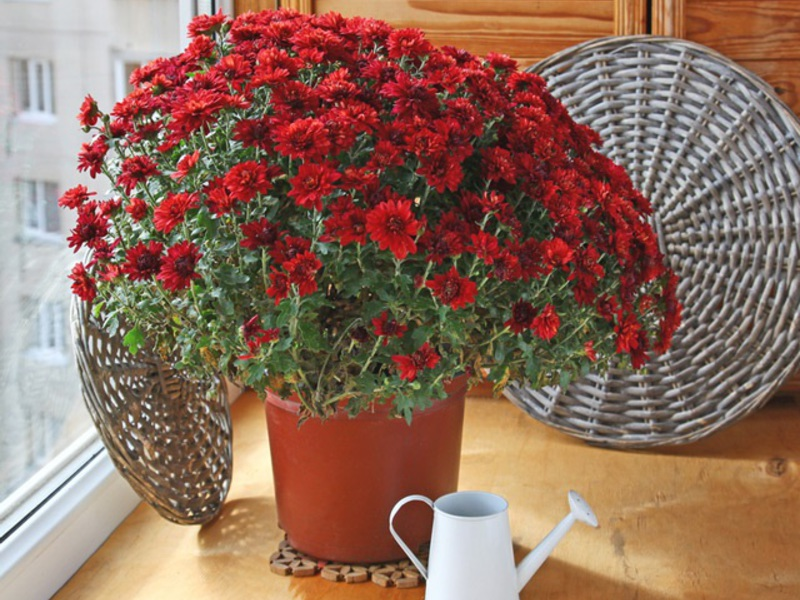 Описание растения хризантема комнатная