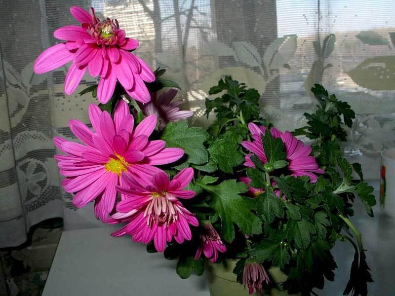 Хризантемы в цветении