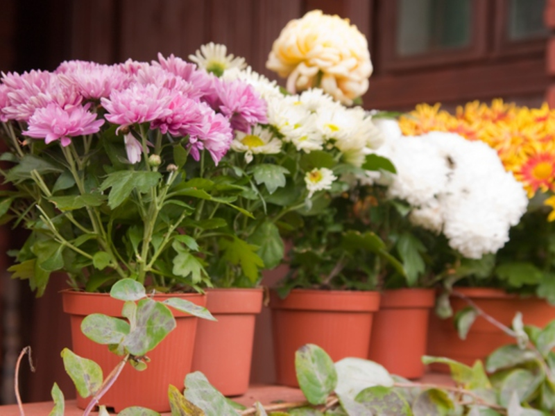 Выращиваем хризантемы в доме