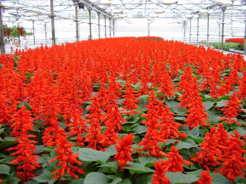 Красные цветы рассада 581