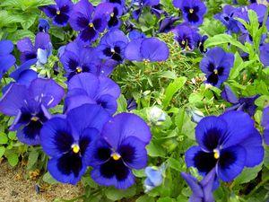 фото виола цветок