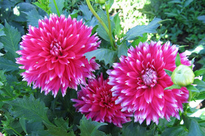 Картинки цветы георгины