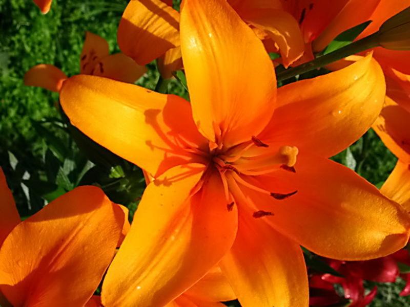 кустовая лилия оранжевая королевская фото проектной декларации, доме