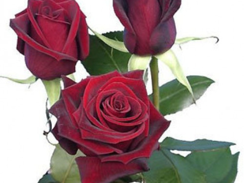 Черная магия роза чайно-гибридная