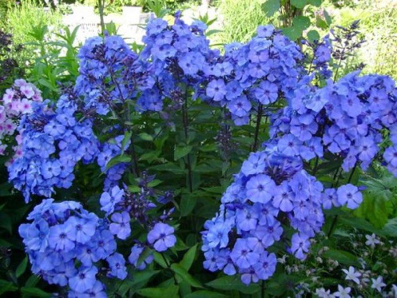 флоксы фото цветов на клумбе