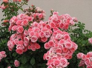 Флорибунда розы фото