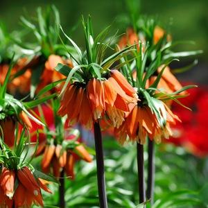 Цветы императорский рябчик фото