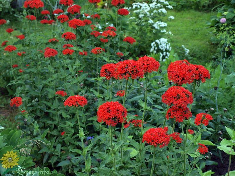 Цветы многолетники с красными цветами