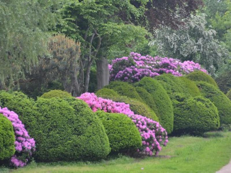 Садовые кустарники рододендрон