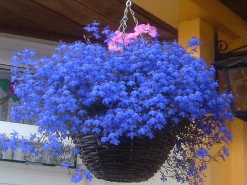 Семена цветов поиск лобелия плетистая голубой фонтан, 350131.