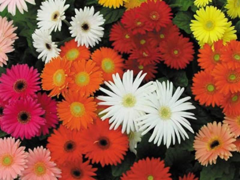 Какими красками цветет гербера