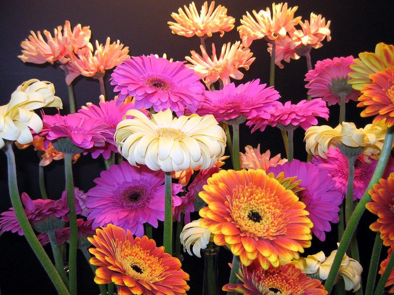 Какими цветами цветет гербера