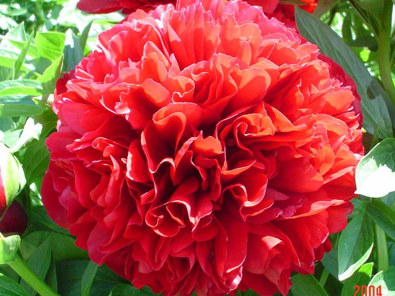 Пионы - цветы императора