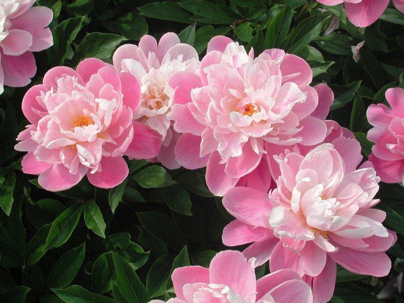 Садовый цветок пион