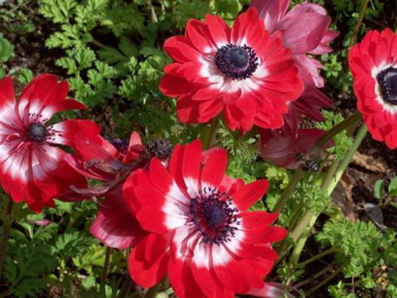 Анемона: посадка и уход за растением