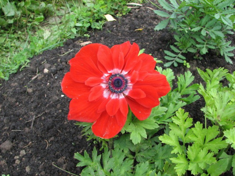 Цветущие цветы анемоны
