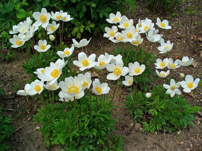 Цветы анемона посадка и уход фото