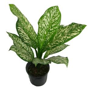 Каталог декоративно-лиственных комнатных растений с фото и названиями