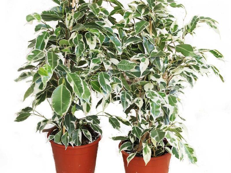 Сорта и виды лиственных растений