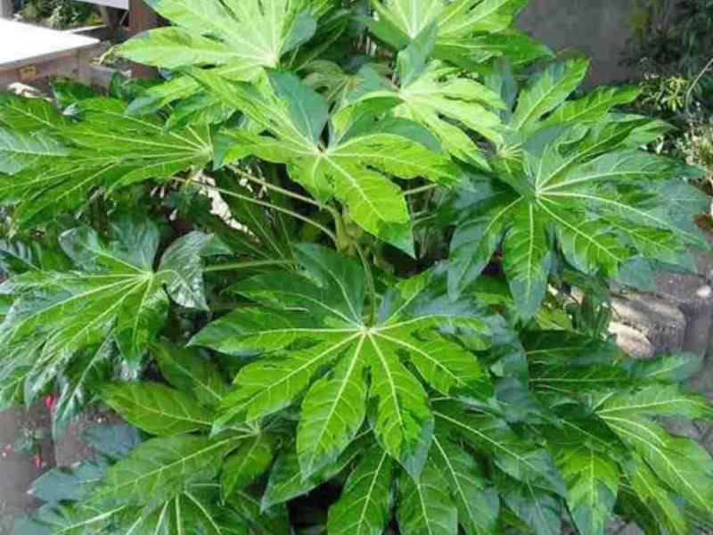 Комнатное растение лиственное