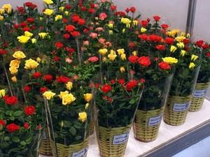 Как правильно пересадить розу из магазина в горшок