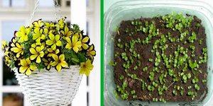 калибрахоа выращивание и уход фото