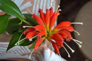 Цветы эсхинантус