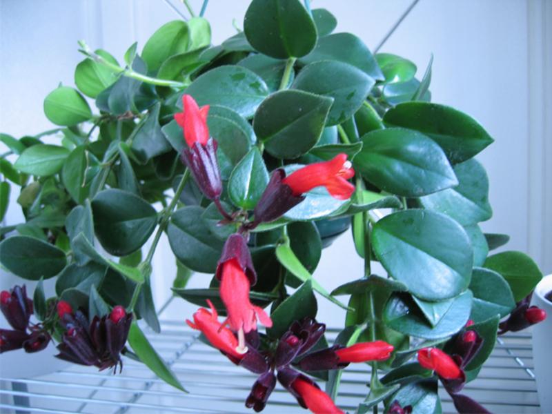 Цветок азалия фото и уход в домашних условиях 31