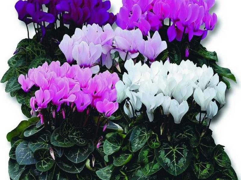 Фото цветка цикламен уход 80