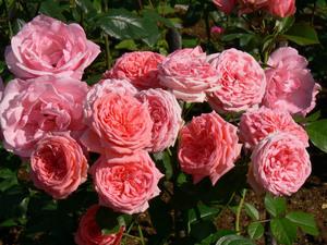 Комнатные розы: выращивание, уход, размножение - Greeninfo