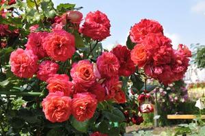 Купить розы флорибунда