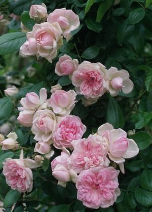 Роза Флорибунда фото и описание популярных сортов, особенности посадки и ухода в открытом грунте,