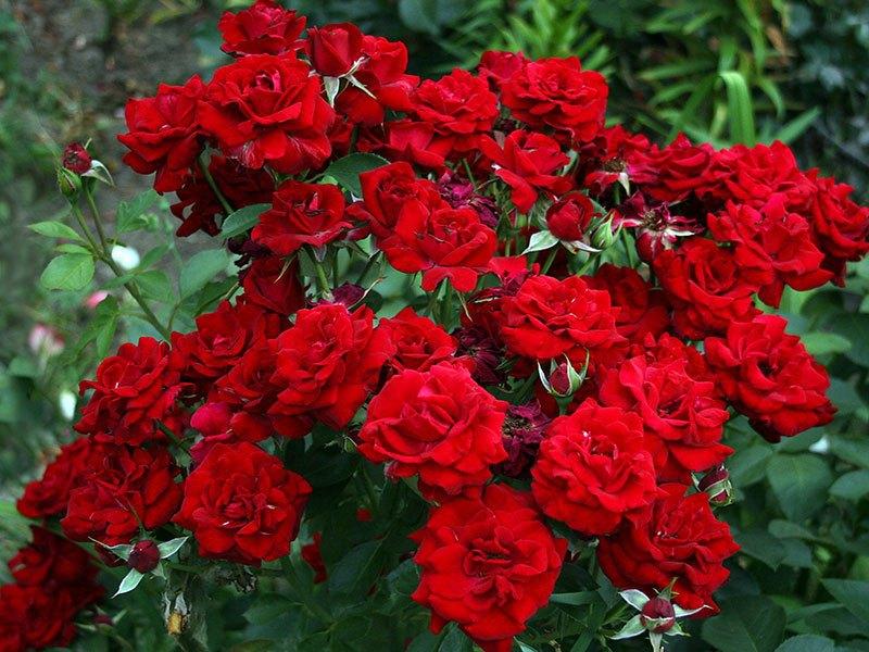 Картинки по запросу роза картинки