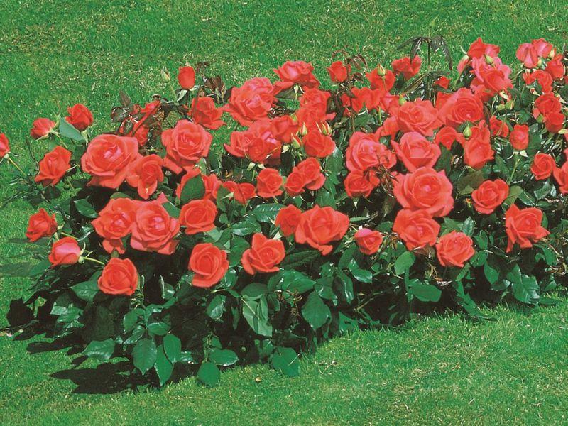 Выращивание карликовых роз в открытом грунте 99