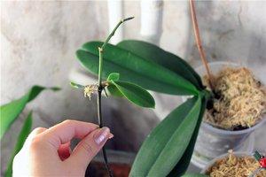 Как размножается орхидея в домашних условиях фаленопсис