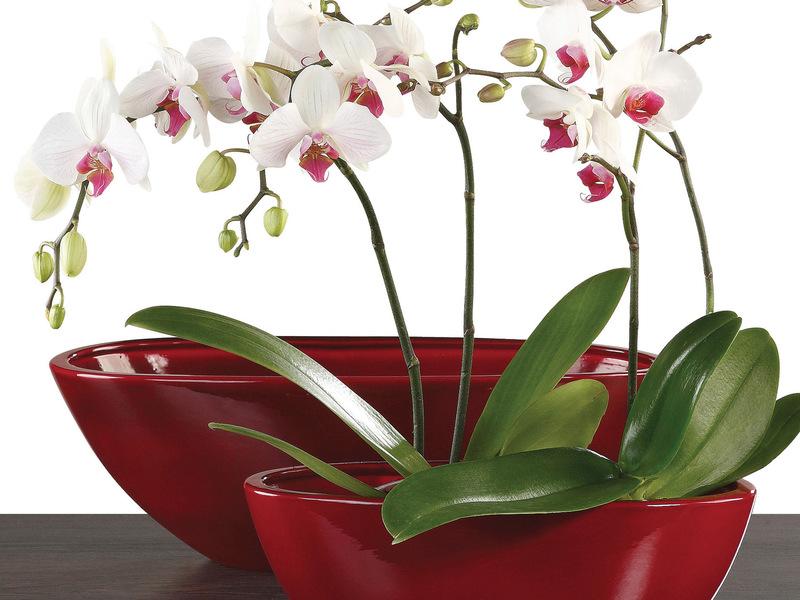 Размножение орхидеи фаленопсис в домашних условиях