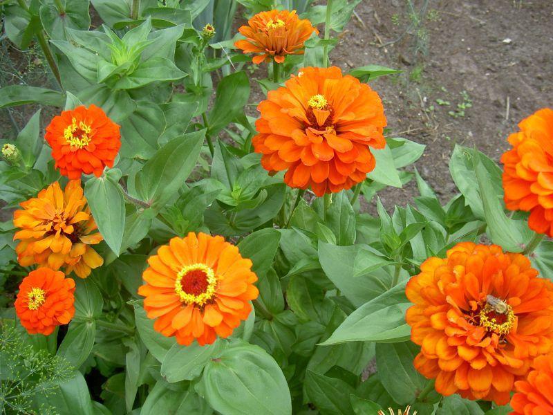 О цветах, всё и всем. Циния выращивание из семян когда сажать